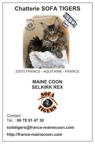 MAINE COON SOFA TIGERS - FRANCE