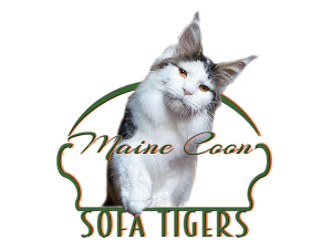 Maine Coon SOFA TIGERS